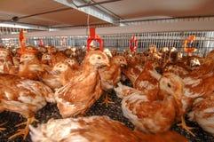 Alojamento múltiplo da exploração agrícola da camada da galinha fotografia de stock royalty free