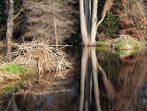 Alojamentos do castor em uma lagoa Fotografia de Stock Royalty Free