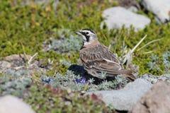 Alondra de cuernos en prado alpino Fotos de archivo libres de regalías