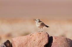 Alondra del Hoopoe en el desierto imágenes de archivo libres de regalías