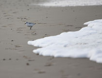 Alone. A photo of a bird (alba calidris stock photo