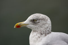Alone. A photo of a flying seagull royalty free stock images