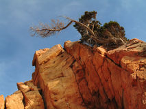 Alone. A tree on a big rock in Sardinia (Italy stock photography