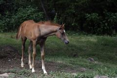 Alone. Arabian colt standing alone in a field Stock Photo