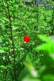 Alone. Red single tulip in a strawberry field Stock Image