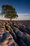 Alone Above Malhamdale. Evening sunshine on lone tree growing in the limestone pavement above Malhamdale, Yorkshire Dales Royalty Free Stock Photos
