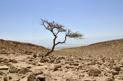 Alone acacia tree in Judea desert. Stock Photography