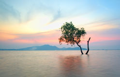 Alone alive tree is in the flood. Of lake at sunset scenery royalty free stock photography