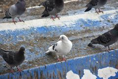 Pigeons in nature. Alone animal avian background beak beautiful beauty bird birding bird colours colours Stock Photos