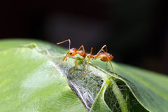 Alone ant Royalty Free Stock Images
