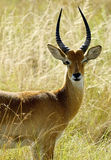 Alone antelope in Africa Stock Photos