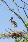 Alone Asian Openbill stork (Anastomus oscitans) on its home Stock Images