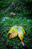 Alone autumn leaf on green moss Royalty Free Stock Images