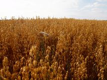 Alone autumn rye in the corn field Royalty Free Stock Photography