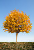 Alone autumn tree Stock Photos