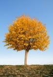 Alone autumn tree. Alone oak tree in autumn stock photos