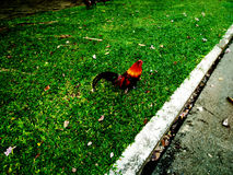Colorful Bantam. This is a bantam in Sanamchandra palace,where was in Nakhonpatom province,Thailand.everyone who come here can see its on ground,side walk or Stock Image