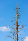 Dead tree with a blue sky in the background. Alone bare dead tree in a sunny environment Royalty Free Stock Images
