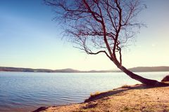 Alone bended birch tree at sea beach, empty branche s without leaves. Royalty Free Stock Photography