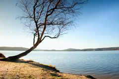 Alone bended birch tree at sea beach, empty branche s without leaves. Sunny autumn day Royalty Free Stock Image