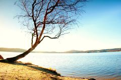 Alone bended birch tree at sea beach, empty branche s without leaves. Royalty Free Stock Photo