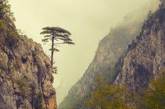 The alone black pine tree Royalty Free Stock Image
