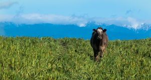 Alone Brown Cow Royalty Free Stock Photography