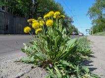 Alone bush of yellow sunny dandelions grows near an asphalt road. Cars go on the road Stock Photography
