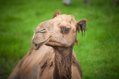 Alone camel Stock Photos