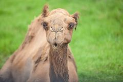 Alone camel Stock Photo