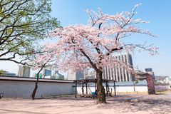 Alone Cherry Blossom Blooming in Gyeongbokgung Palace, Seoul, South Korea stock photos
