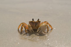 Alone crab Stock Photography