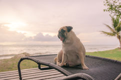 Alone cute pug dog tongue sticking out sad and sit alone on beach chair with summer sea and looking at cloudy sunset Royalty Free Stock Images