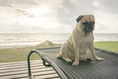 Alone cute pug dog tongue sticking out sad and sit rest on beach. Chair with summer sea and cloudy sunset background Stock Photo
