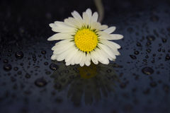 Alone daisy after rain Royalty Free Stock Photos