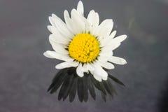 Alone daisy after rain Stock Photos