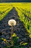 Alone dandelion Stock Image