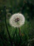 Alone dandelion Royalty Free Stock Photos