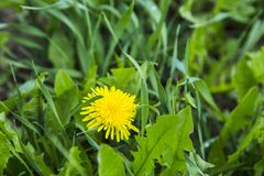 Alone dandelion in green grass Royalty Free Stock Images