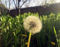 Alone dandelion in small garden Royalty Free Stock Image