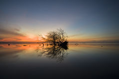 Alone dead Mangrove tree at the beach swamp. With burning sky sun rise , blur background royalty free stock photography