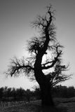 Alone Dead Tree in Black and White. A dead populus in black and white of populus euphratica forest in China Royalty Free Stock Photos