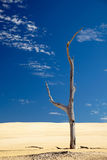 Alone dead tree in sand Royalty Free Stock Image