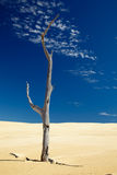 Alone dead tree in sand Stock Photos