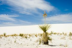 Alone in the desert. A soapweed yucca (Yucca glauca ) in the white sand of New Mexico?s White Sand National Monument stock images