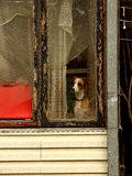 Alone dog near window. Old house and the dog watching from window Dog guarding house Royalty Free Stock Images