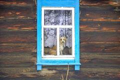 Dog in the window of a wooden house. Alone dog in the window of a wooden house stock images