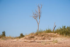 Alone dry tree in a beach Stock Photos