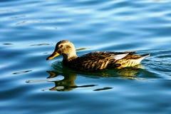 Alone duck (anatidae) Stock Photo