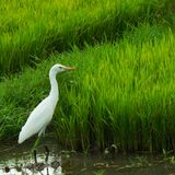 Alone Eastern Cattle Egret stock photography